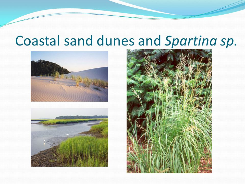 Coastal sand dunes and Spartina sp.