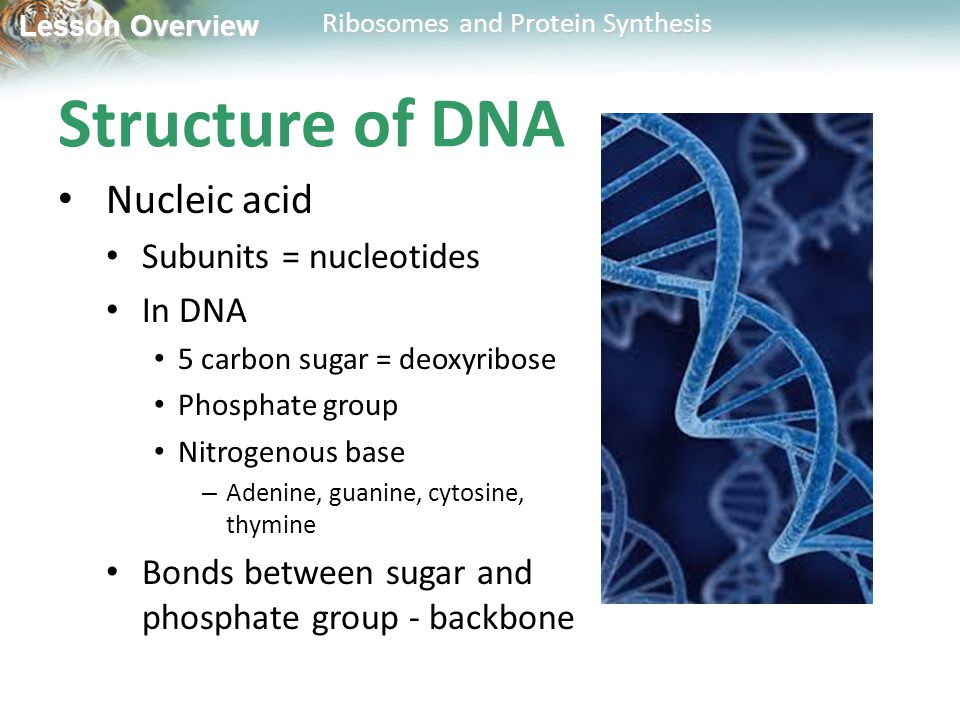 Structure of DNA Nucleic acid Subunits = nucleotides In DNA