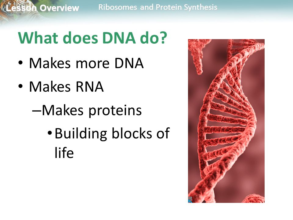 What does DNA do Makes more DNA Makes RNA Makes proteins