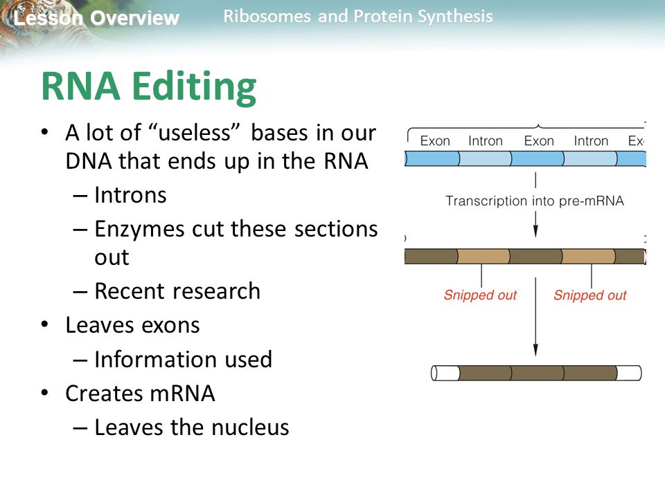 RNA Editing A lot of useless bases in our DNA that ends up in the RNA. Introns. Enzymes cut these sections out.