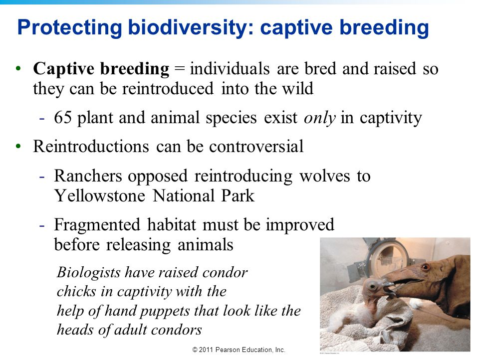 Protecting biodiversity: captive breeding