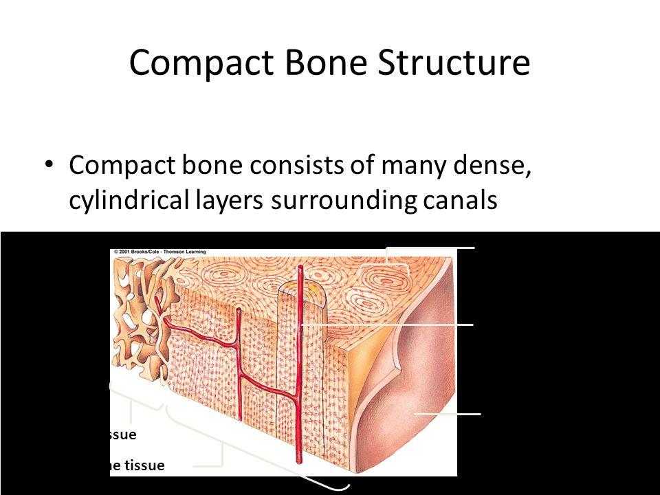Compact Bone Structure