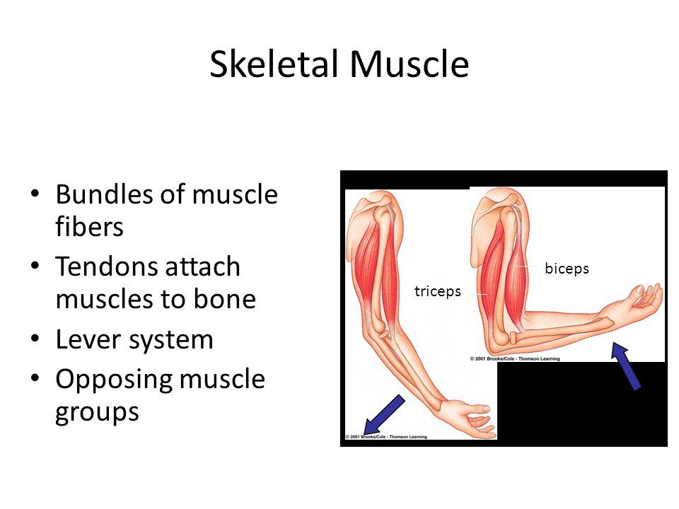 Skeletal Muscle Bundles of muscle fibers