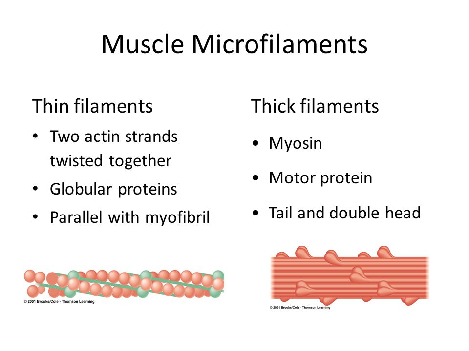 Muscle Microfilaments