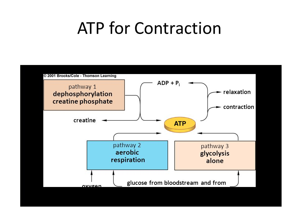 ATP for Contraction dephosphorylation creatine phosphate aerobic
