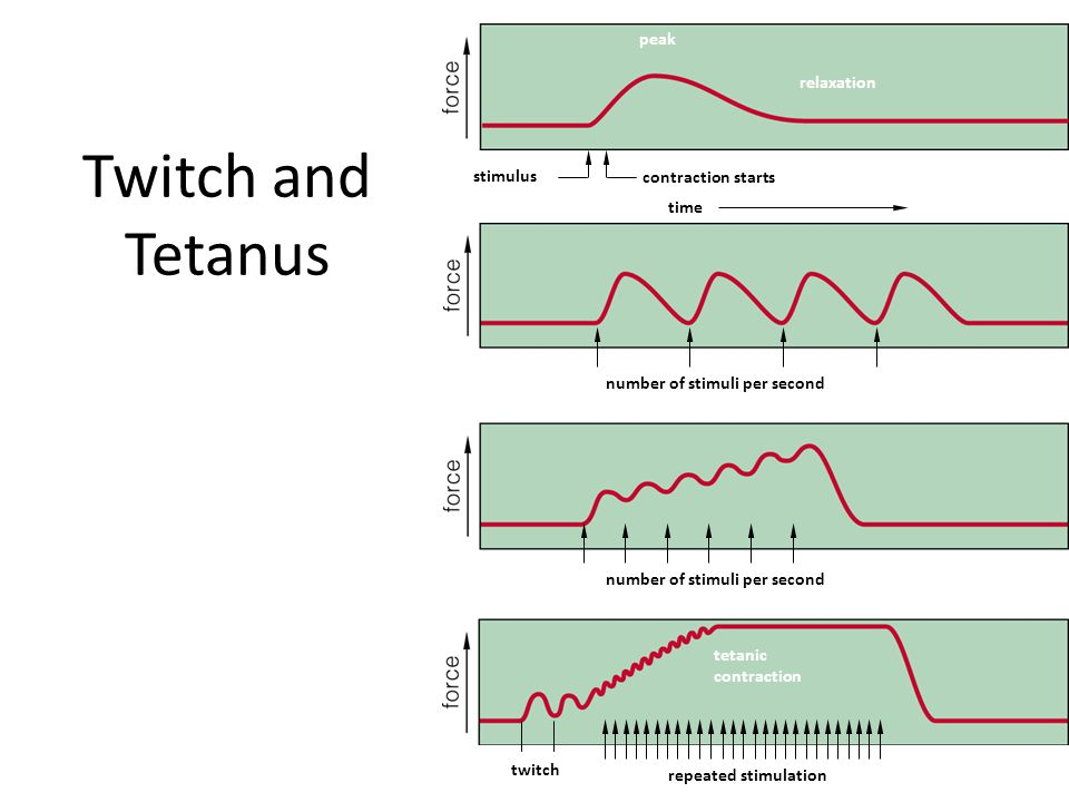 Twitch and Tetanus peak relaxation stimulus contraction starts time