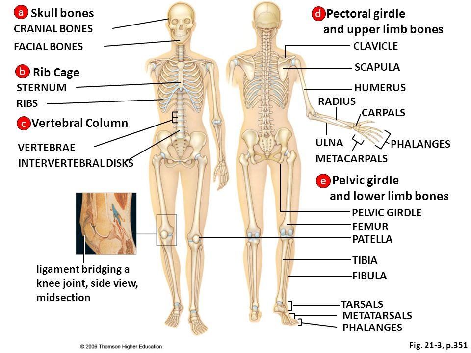 Skull bones Pectoral girdle and upper limb bones Rib Cage