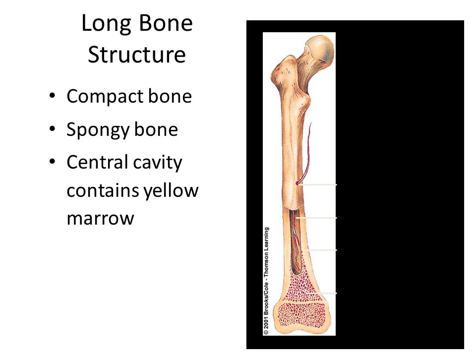 Long Bone Structure Compact bone Spongy bone