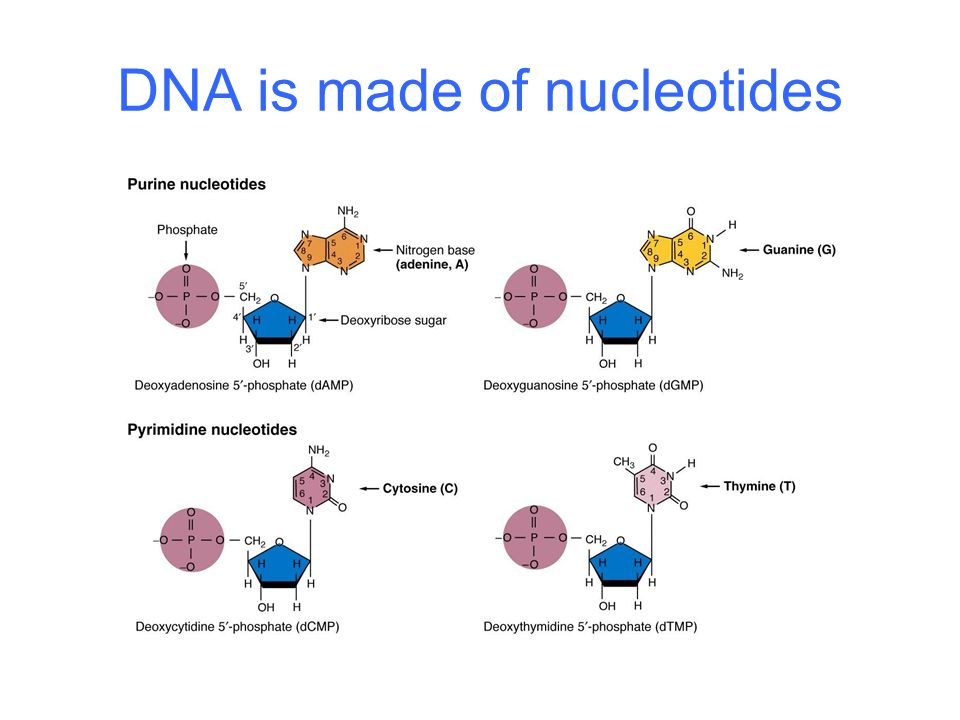 DNA is made of nucleotides