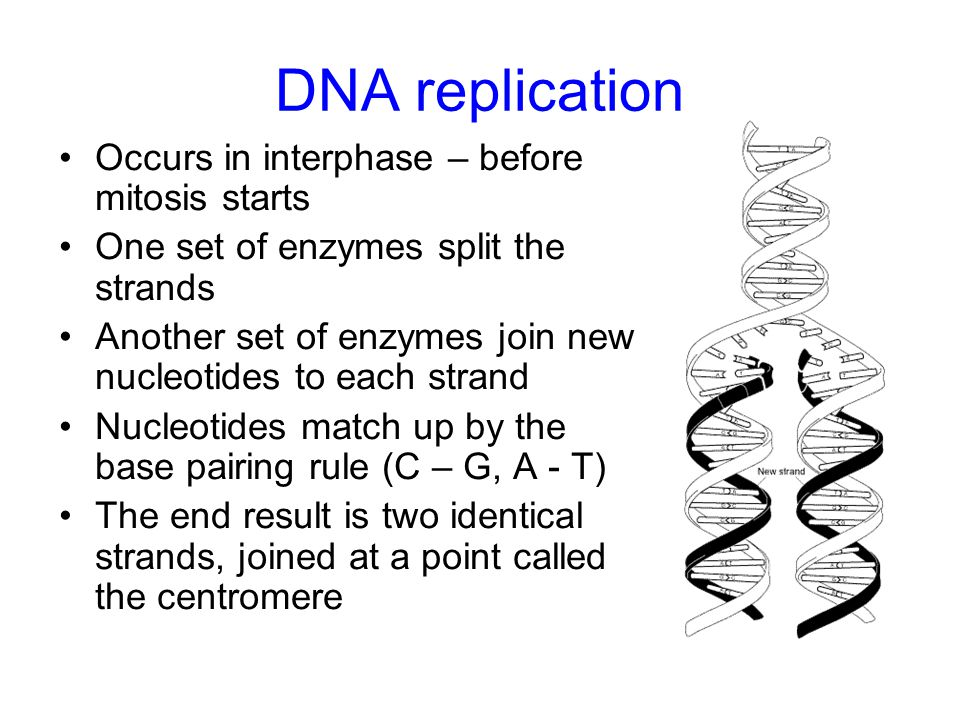 DNA replication Occurs in interphase – before mitosis starts