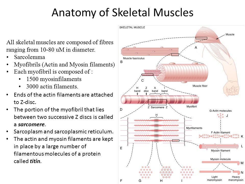 Anatomy of Skeletal Muscles