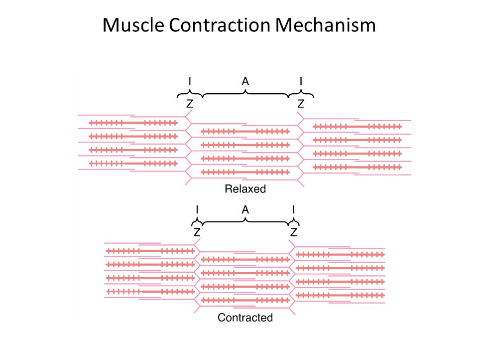 Muscle Contraction Mechanism