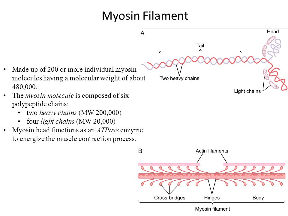 Myosin Filament Made up of 200 or more individual myosin molecules having a molecular weight of about 480,000.