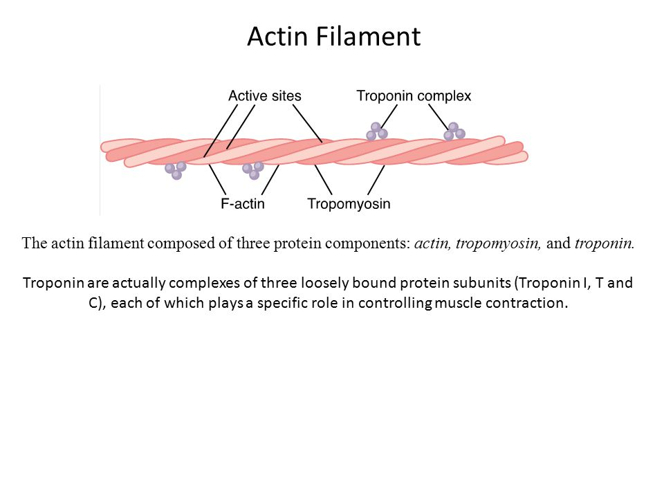 Actin Filament The actin filament composed of three protein components: actin, tropomyosin, and troponin.