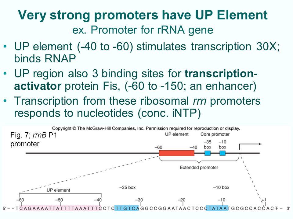 Very strong promoters have UP Element ex. Promoter for rRNA gene
