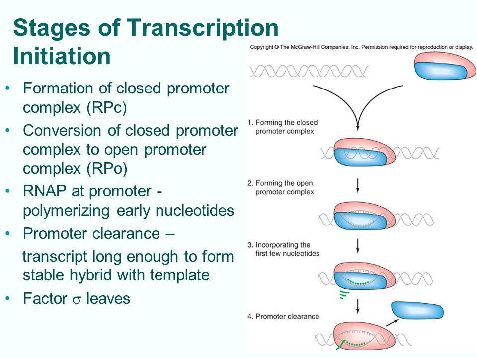 Stages of Transcription Initiation