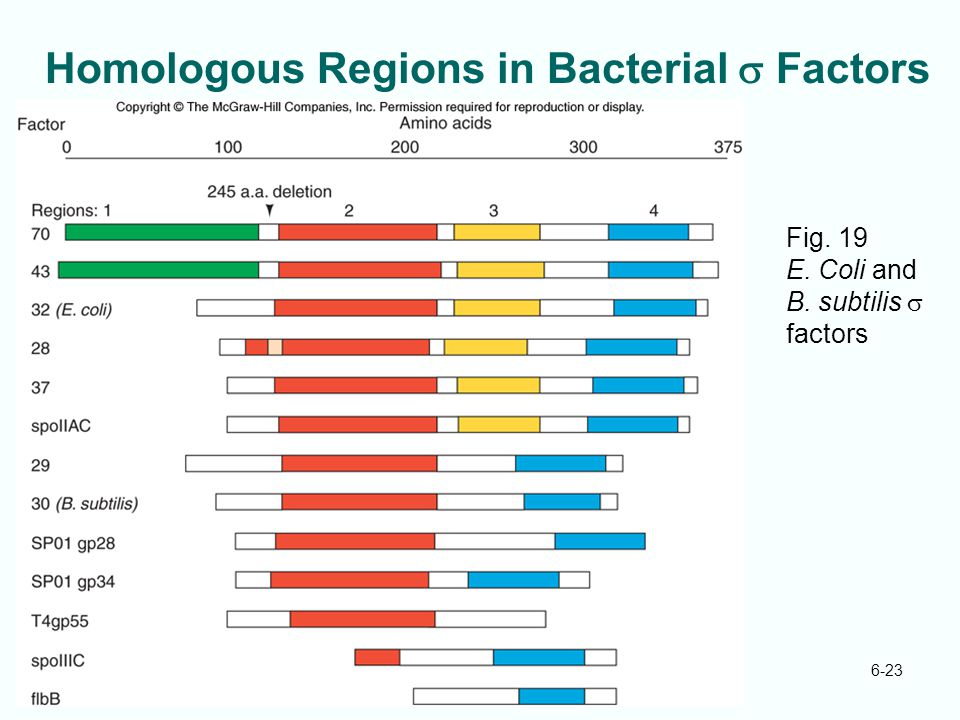 Homologous Regions in Bacterial s Factors