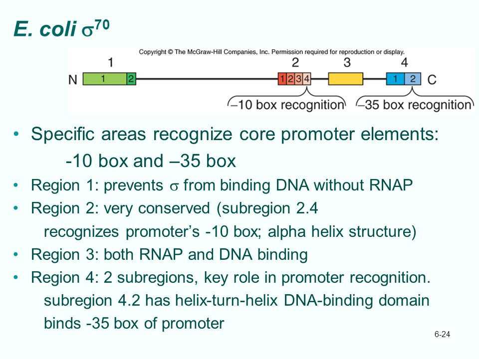 E. coli s70 Specific areas recognize core promoter elements: