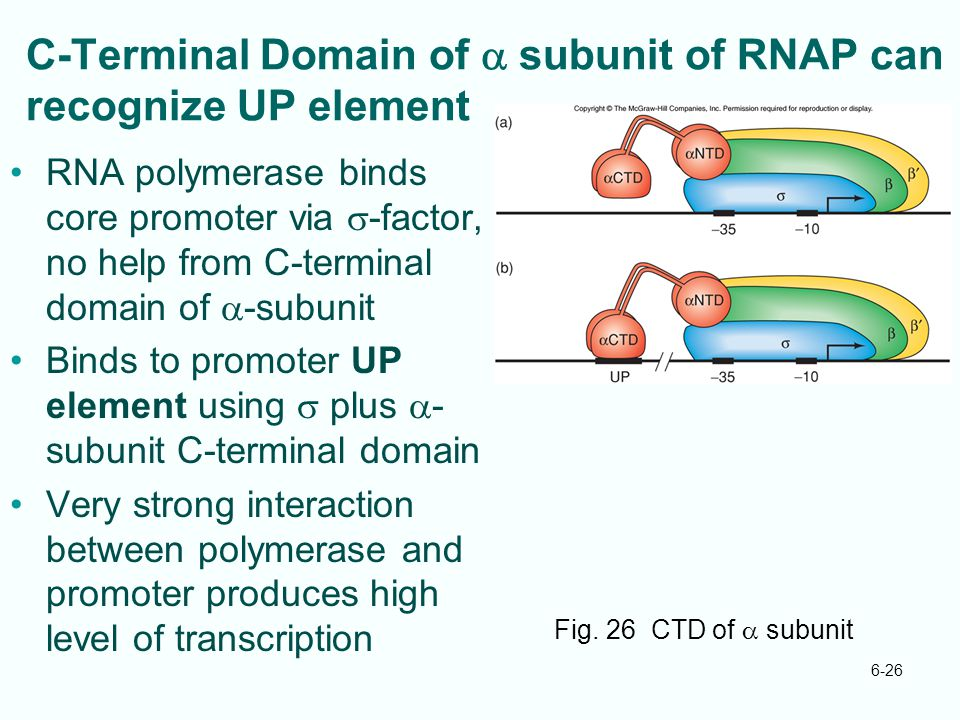 C-Terminal Domain of a subunit of RNAP can recognize UP element