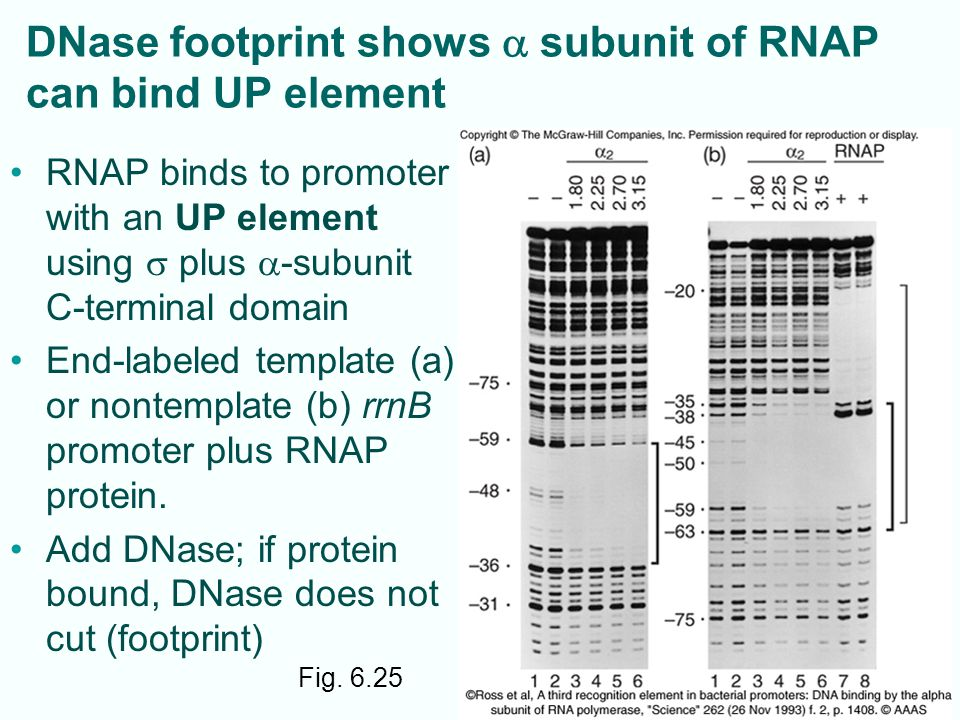 DNase footprint shows a subunit of RNAP can bind UP element