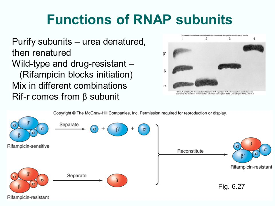 Functions of RNAP subunits