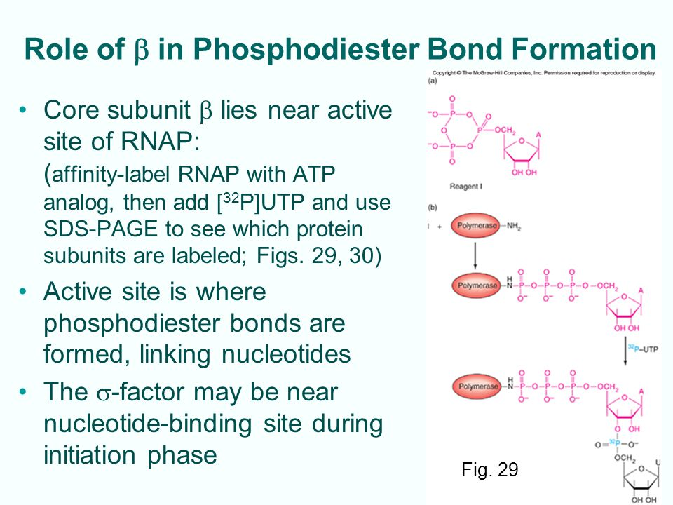 Role of b in Phosphodiester Bond Formation