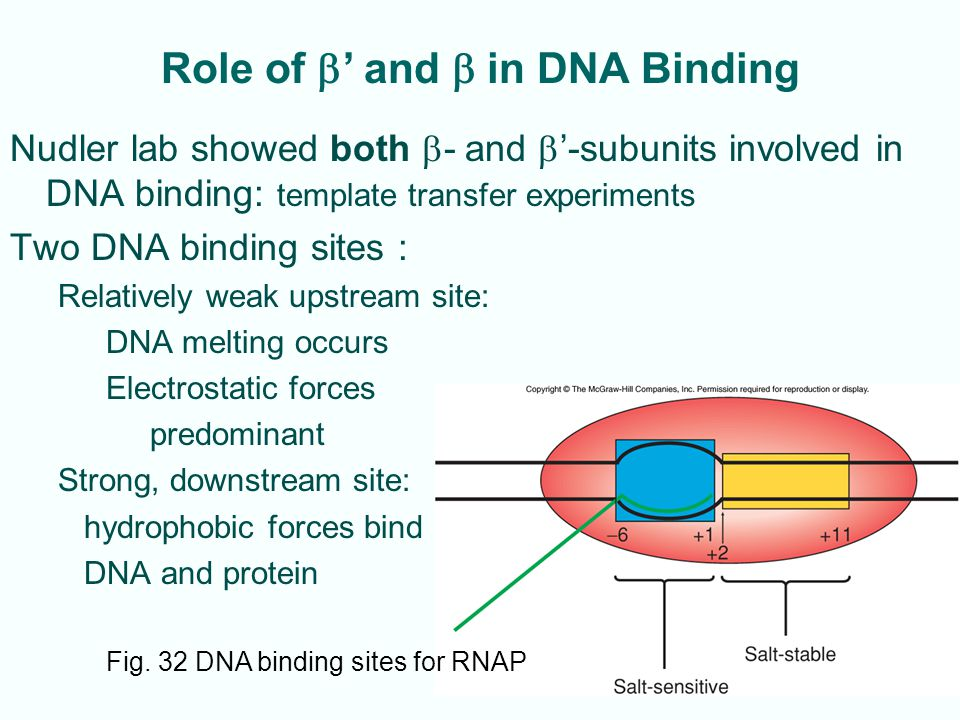 Role of b' and b in DNA Binding