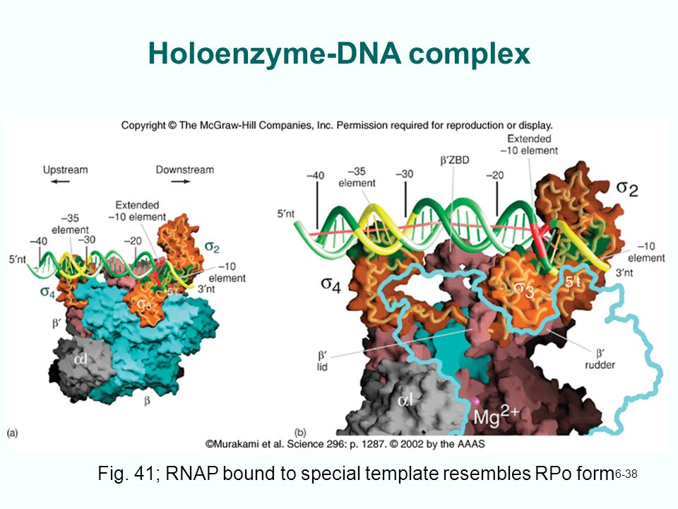 Holoenzyme-DNA complex