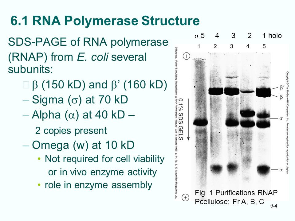 6.1 RNA Polymerase Structure