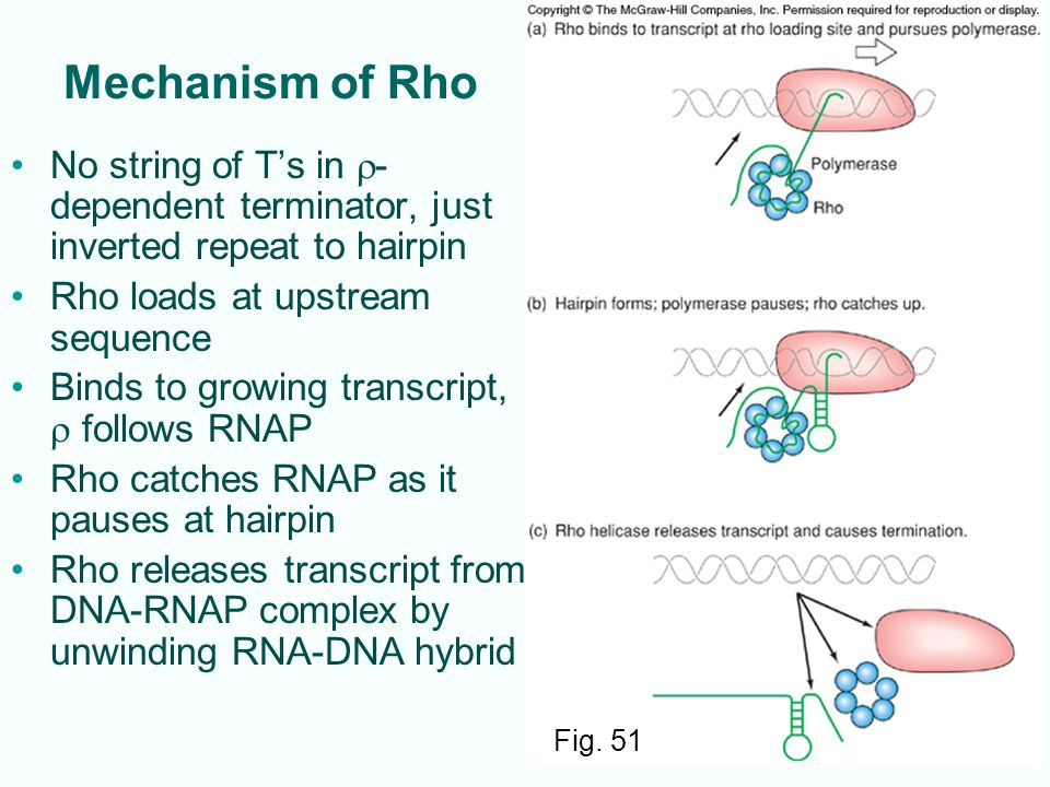 Mechanism of Rho No string of T's in r-dependent terminator, just inverted repeat to hairpin. Rho loads at upstream sequence.