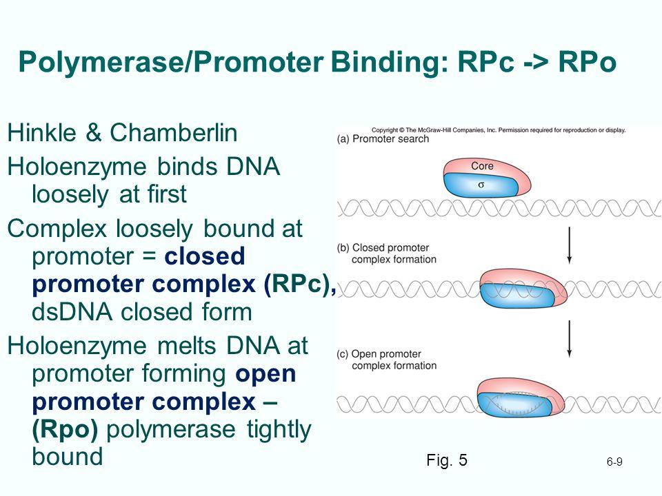 Polymerase/Promoter Binding: RPc -> RPo