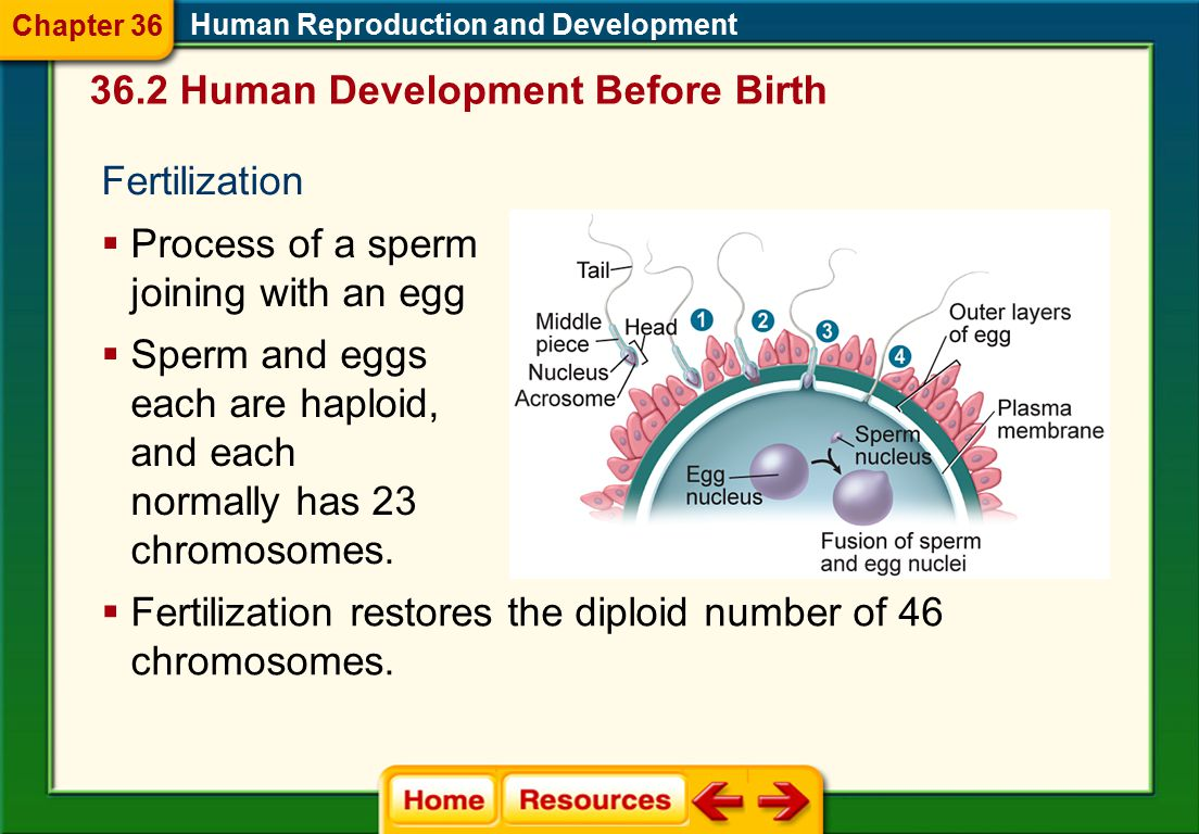36.2 Human Development Before Birth