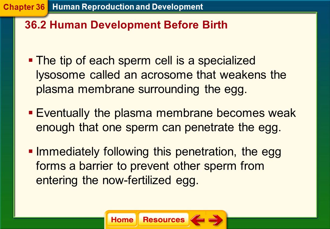 Chapter 36 Human Reproduction and Development. 36.2 Human Development Before Birth.