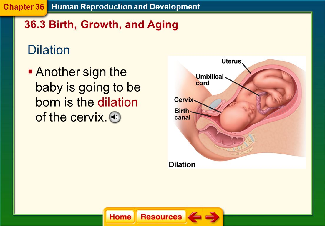 Chapter 36 Human Reproduction and Development. 36.3 Birth, Growth, and Aging. Dilation.