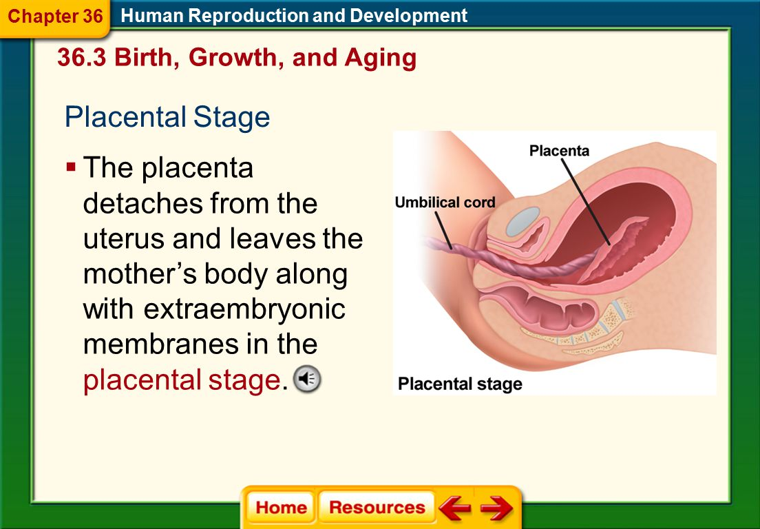 Chapter 36 Human Reproduction and Development. 36.3 Birth, Growth, and Aging. Placental Stage.