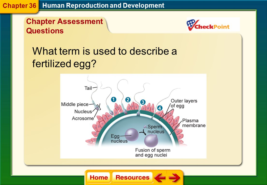 What term is used to describe a fertilized egg