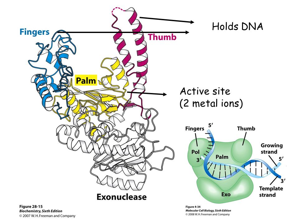Holds DNA Active site (2 metal ions)