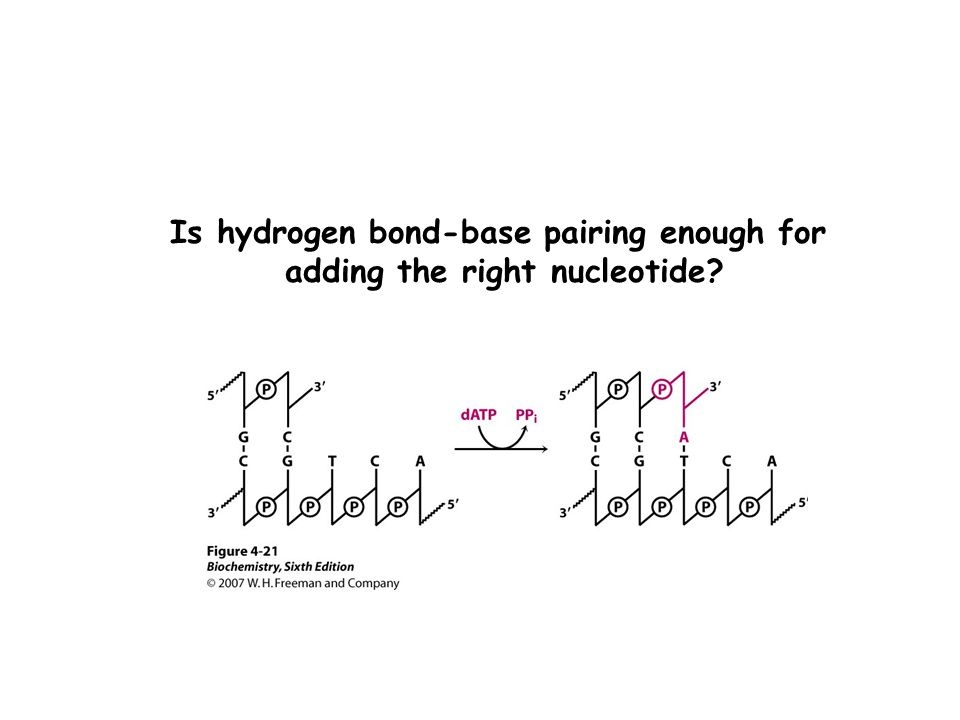 Is hydrogen bond-base pairing enough for adding the right nucleotide