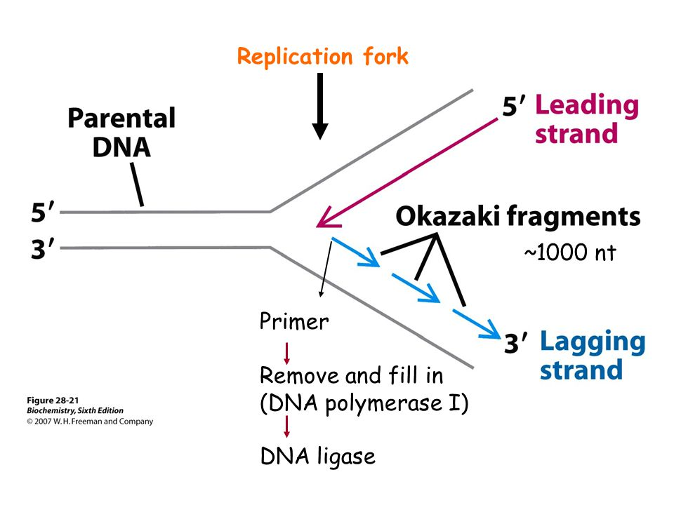 Replication fork ~1000 nt Primer Remove and fill in (DNA polymerase I) DNA ligase
