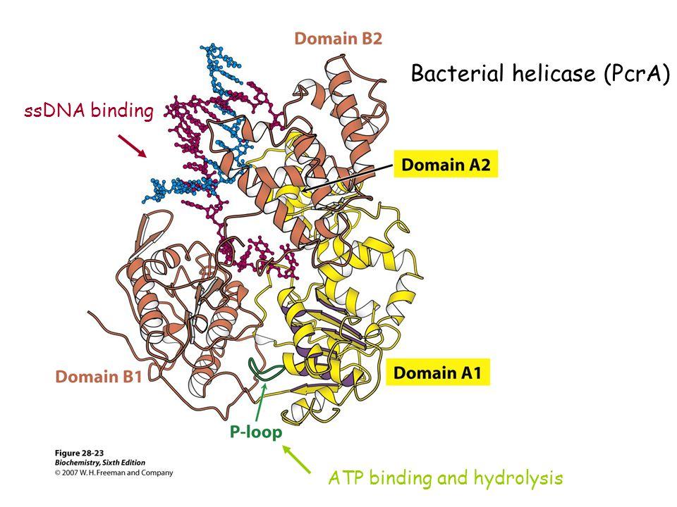 Bacterial helicase (PcrA)