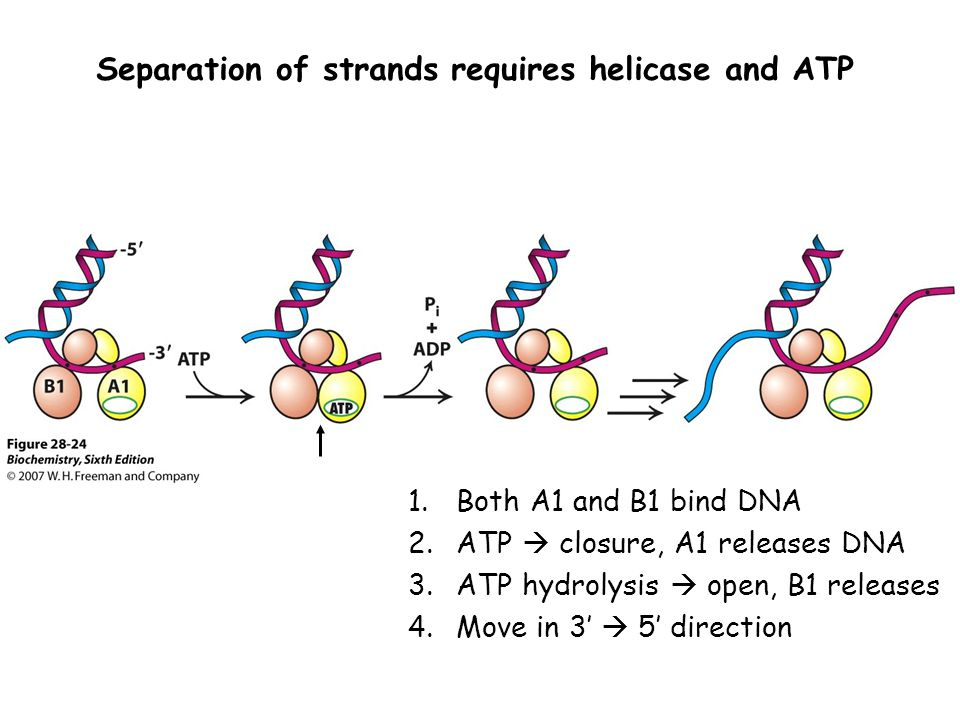 Separation of strands requires helicase and ATP