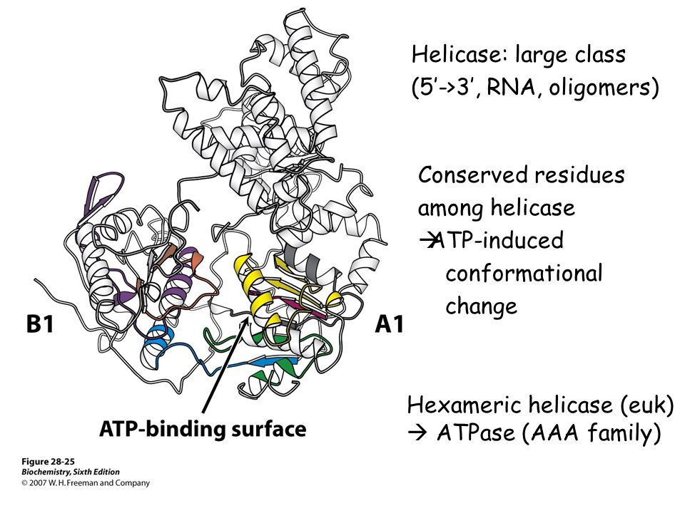 Helicase: large class (5'->3', RNA, oligomers) Conserved residues. among helicase. ATP-induced. conformational.