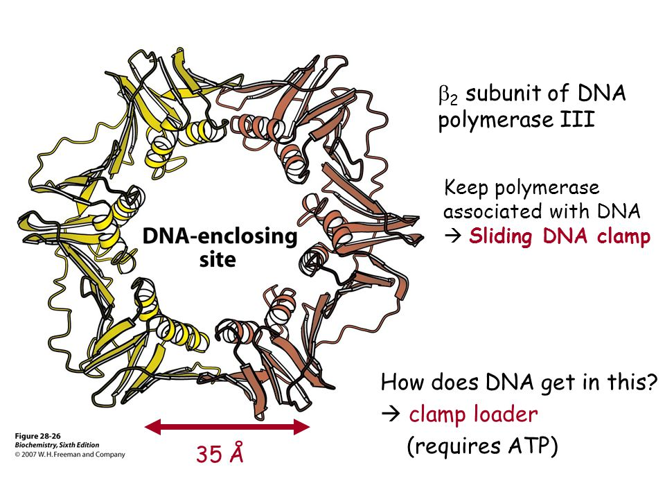 b2 subunit of DNA polymerase III How does DNA get in this