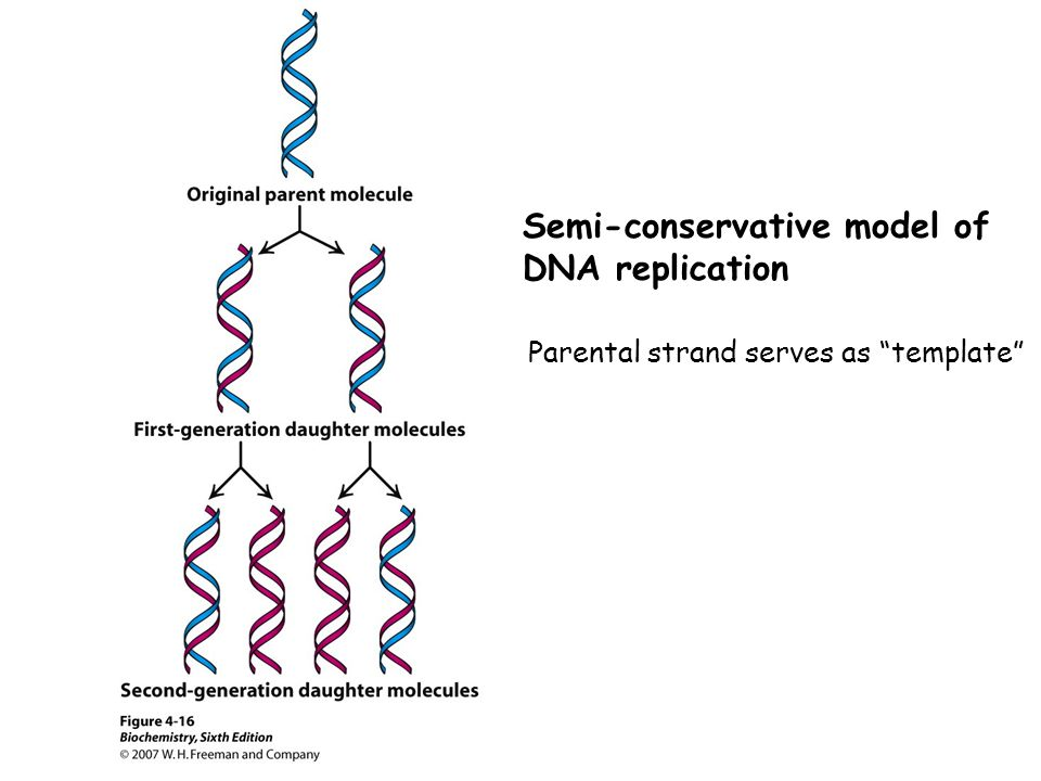 Semi-conservative model of DNA replication