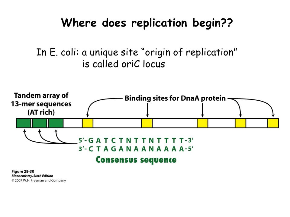 Where does replication begin
