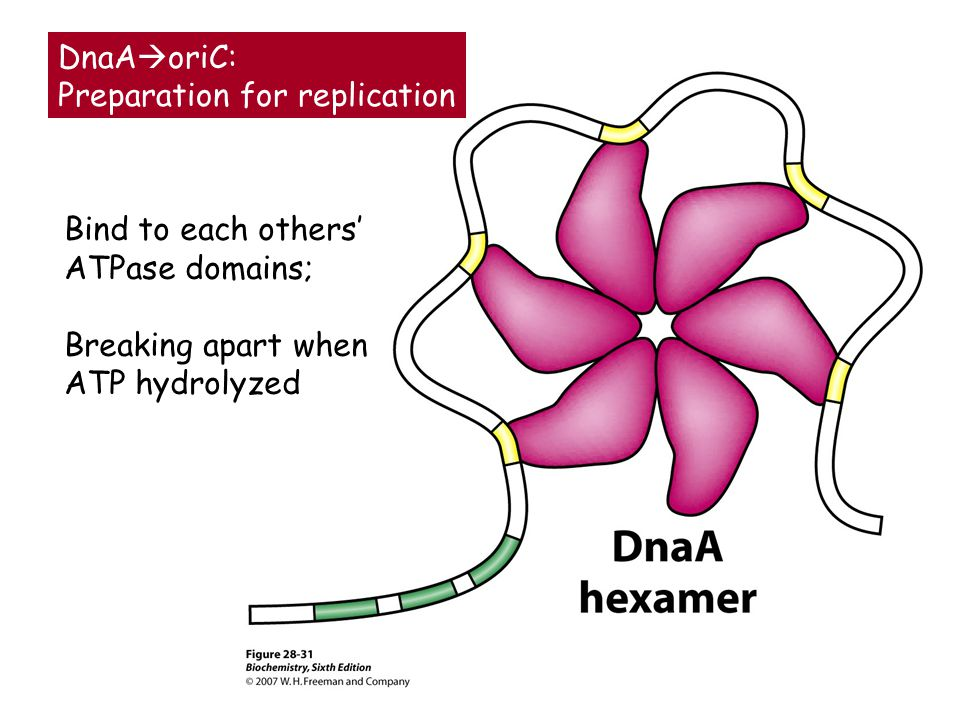 DnaAoriC: Preparation for replication. Bind to each others' ATPase domains; Breaking apart when.