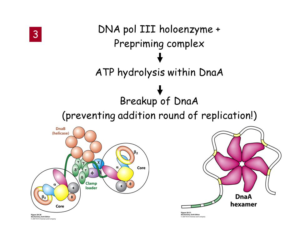 DNA pol III holoenzyme + Prepriming complex ATP hydrolysis within DnaA