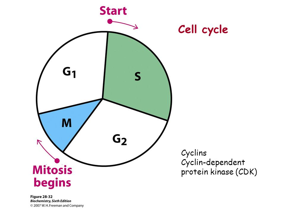Cell cycle Cyclins Cyclin-dependent protein kinase (CDK)