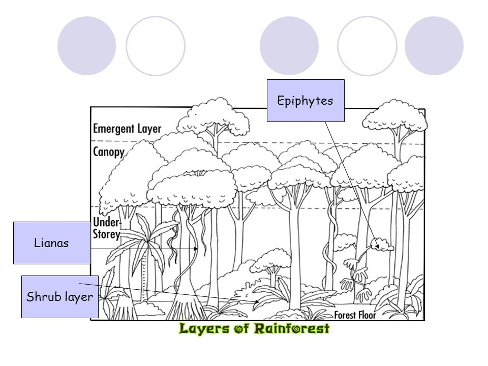 Epiphytes Lianas Shrub layer