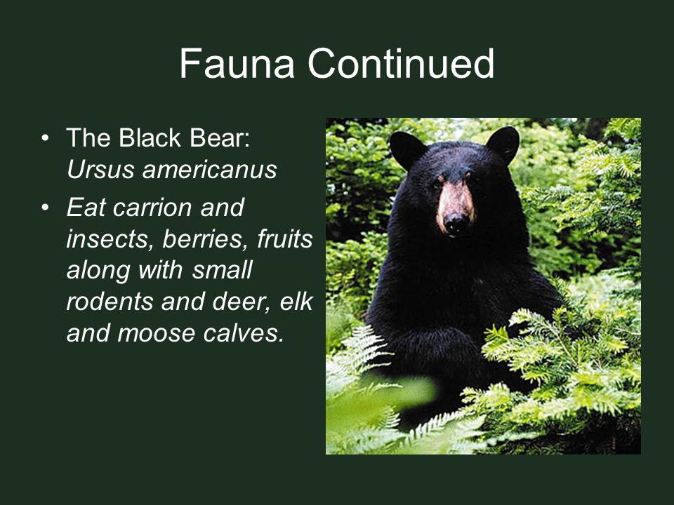 Fauna Continued The Black Bear: Ursus americanus